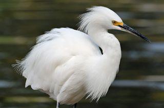 Snowy-egret-fluff[1]