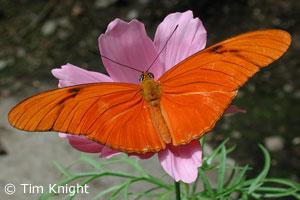 Julia_butterfly_32tk[1]